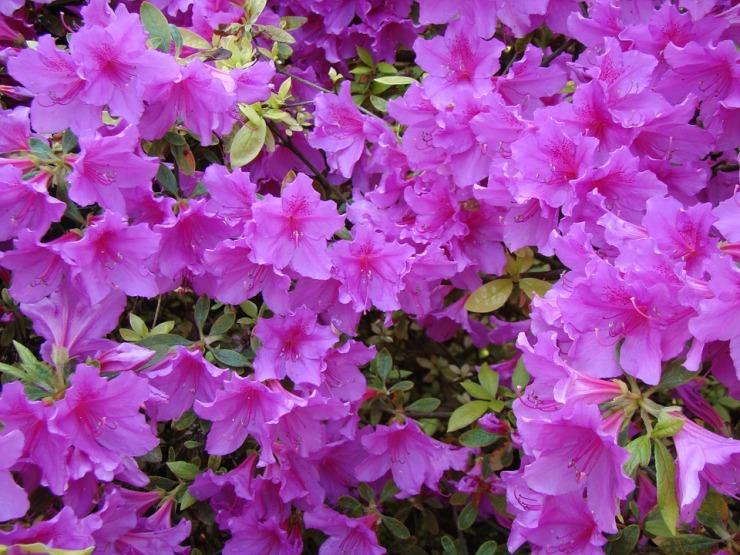 Garden Azalea Bush Flowers Rhododendron Bloom