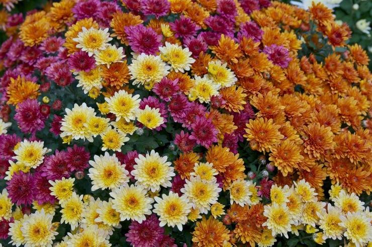 Chrysnathemum