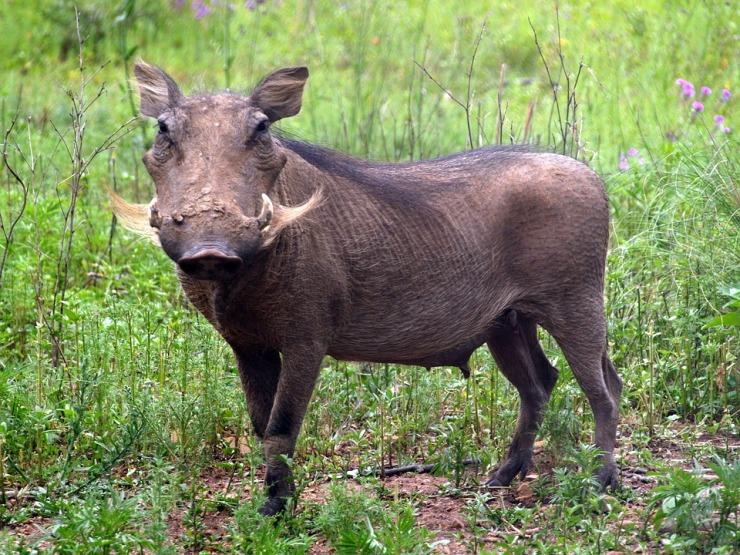 wild-pig-1657717_960_720